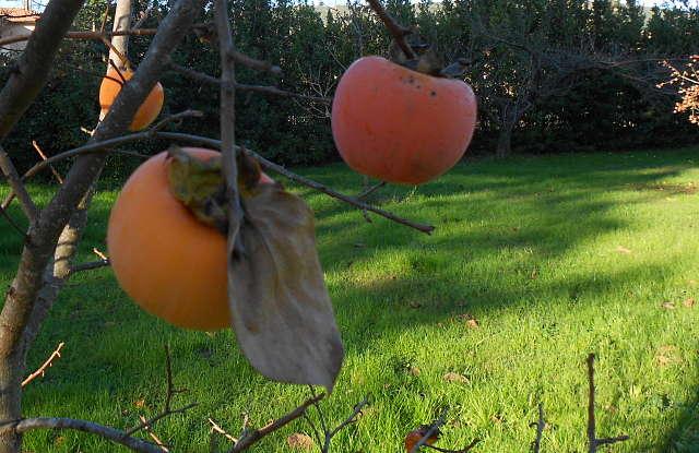 Gardening_season_autumn_kaki_opt