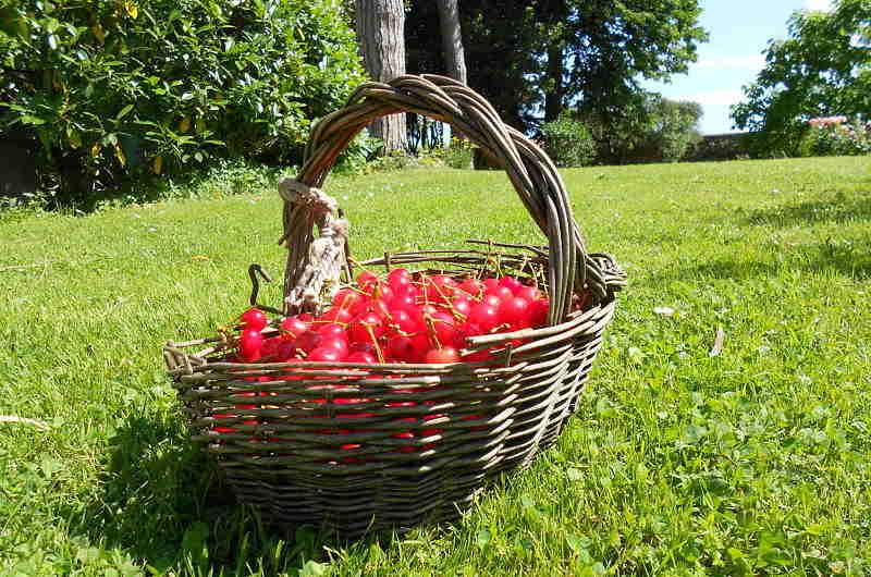 Gardening_season_sour_cherrys_opt