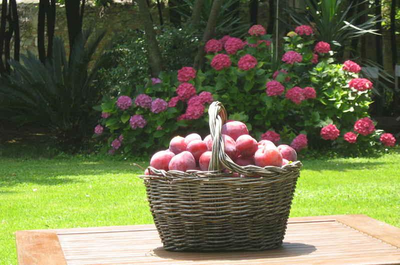 Gardening_season_summer_plums_harvest_opt