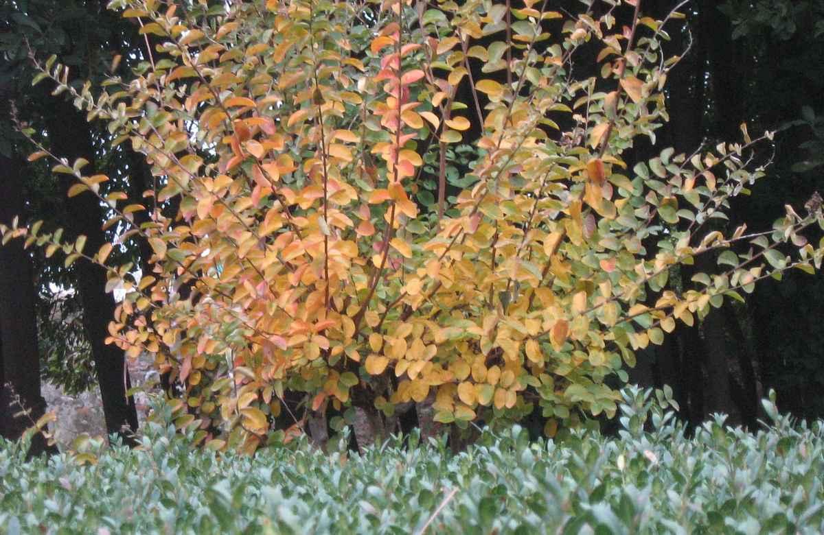 Gardening_season_autumn_lagestroemia1_opt